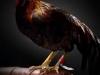 il temibile gallo combattente